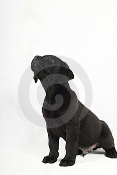 Studio Portrait Of A Labrador Puppy Royalty Free Stock Image - Image: 15870616