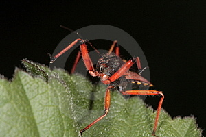 Rhinocoris Iracundus Stock Photos - Image: 15872863