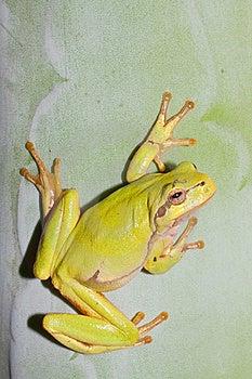 Green Tree Frog  / Hyla Arborea Royalty Free Stock Photography - Image: 15873357