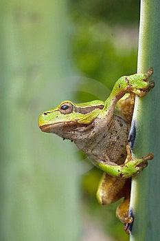 Green Tree Frog / Hyla Arborea Stock Photography - Image: 15873362