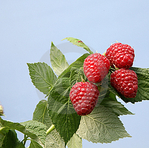 English Raspberries (with Space For Text) Stock Photography - Image: 15873752