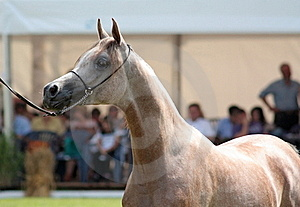Arabian Filly Royalty Free Stock Images - Image: 15876939