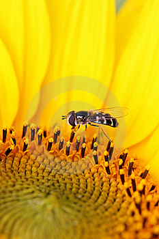 Sunflower Royalty Free Stock Photography - Image: 15878107