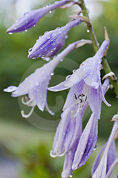 Purple Bell Flower Stock Images - Image: 15883494