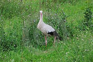 White Stork Royalty Free Stock Image - Image: 15884336