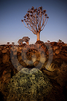 Quiver Tree 3 Royalty Free Stock Photo - Image: 15886395