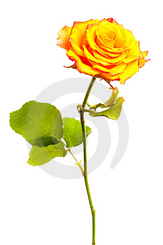 Yellow Rose Isolated Stock Image - Image: 15886411