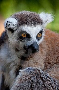 Lemur Olhar Fixamente Fotografia de Stock Royalty Free - Imagem: 15891267