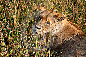 Lone Lioness Stock Photography - Image: 15894892
