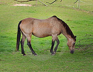 Dun Horse Grazing In A Meadow Stock Photo - Image: 15901510