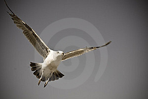 Gull Stock Photos - Image: 15902143