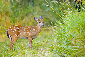 Young Deer Bamby Roe Royalty Free Stock Images - Image: 15903719