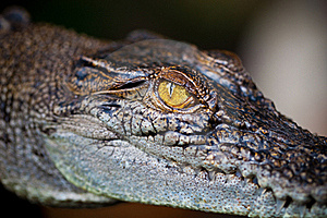 Eye Of Alligator Royalty Free Stock Photo - Image: 15905675