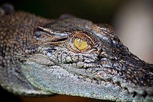 Eye Of Alligator Royalty Free Stock Photo - Image: 15905675