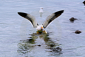 Seagull Ready For Takeoff Royalty Free Stock Images - Image: 15908019