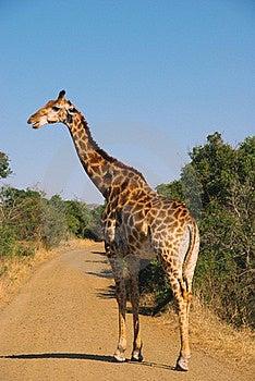 Giraffe Royalty Free Stock Photography - Image: 15913967