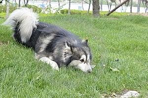 Alaskan Malamute Stock Image - Image: 15920421