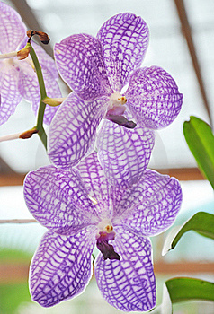 Vanda Stock Photos - Image: 15922023