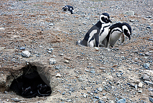 Magellan Penguins On An Island Stock Photo - Image: 15929810