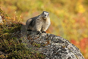 Hoary Marmot Sitting On Rock In Hatcher Pass, AK Royalty Free Stock Photo - Image: 15932155