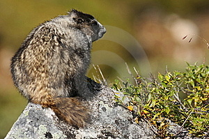 Marmot Perched Atop A Rock In Hatcher Pass, AK Royalty Free Stock Photos - Image: 15932718