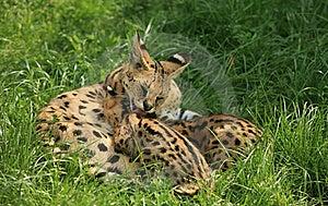 Nursing Cheetah Royalty Free Stock Photo - Image: 15934195