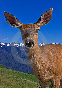 Portrait Of Deer In Front Of Mountains Stock Photo - Image: 15937340