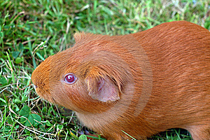Ginger Guinea Pig Royalty Free Stock Images - Image: 15939489