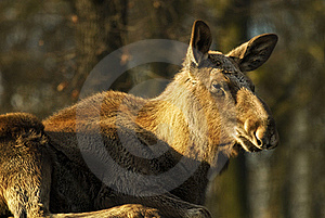 Moose Cow  (Alces Alces) Stock Images - Image: 15940184