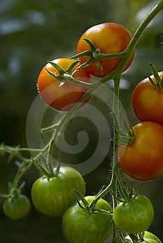 Tomato (Solanum Lycopersicum) Plant Royalty Free Stock Image - Image: 15940576