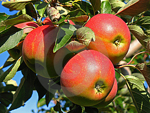 Apples Royalty Free Stock Image - Image: 15940896
