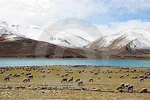 Sheeps On Lake And Snow Mountain Royalty Free Stock Image - Image: 15942426