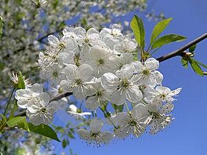 Flowering Cherry Royalty Free Stock Image - Image: 15945176