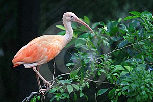 The Pink Flamingo Royalty Free Stock Photos - Image: 15945208