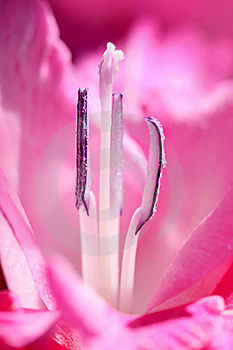 Flower Stamens Royalty Free Stock Photos - Image: 15947838
