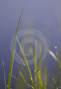 Shallow Grass Plant Royalty Free Stock Photo - Image: 15948795