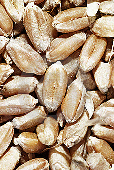 Closeup Of Grains Of Wheat Royalty Free Stock Photo - Image: 15949215