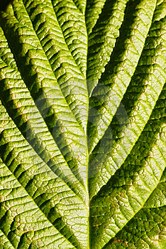 Green Leaf Closeup Royalty Free Stock Photos - Image: 15949568