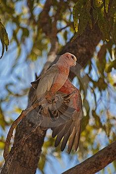 Galah Parrot, Australia Stock Image - Image: 15951911