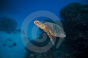 Green Turtle Royalty Free Stock Images - Image: 15951929