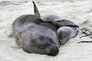 Hooker Sealion And Pup Royalty Free Stock Photography - Image: 15956627