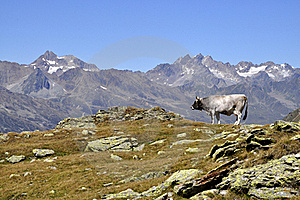 Cows In Alps Royalty Free Stock Photos - Image: 15960408