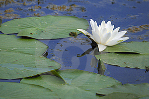 Swamp Flower Royalty Free Stock Images - Image: 15960639