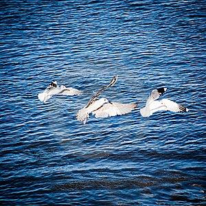 Seagulls Stock Photos - Image: 15961893