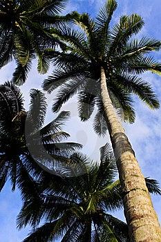 Coconuts Tree Stock Photo - Image: 15961990