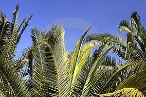 Palm Tree Royalty Free Stock Photos - Image: 15962358