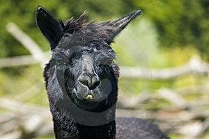 Black Llama Face Royalty Free Stock Photos - Image: 15964408