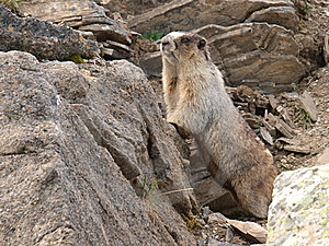 Hoary Marmot Royalty Free Stock Images - Image: 15966349
