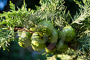 Small Lumps On The Coniferous Tree Royalty Free Stock Image - Image: 15974076
