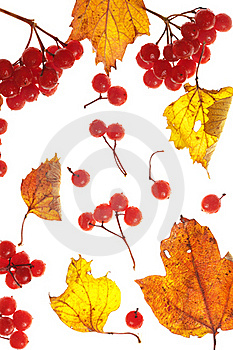 Viburnum And Yellow Leaves Stock Photography - Image: 15979802